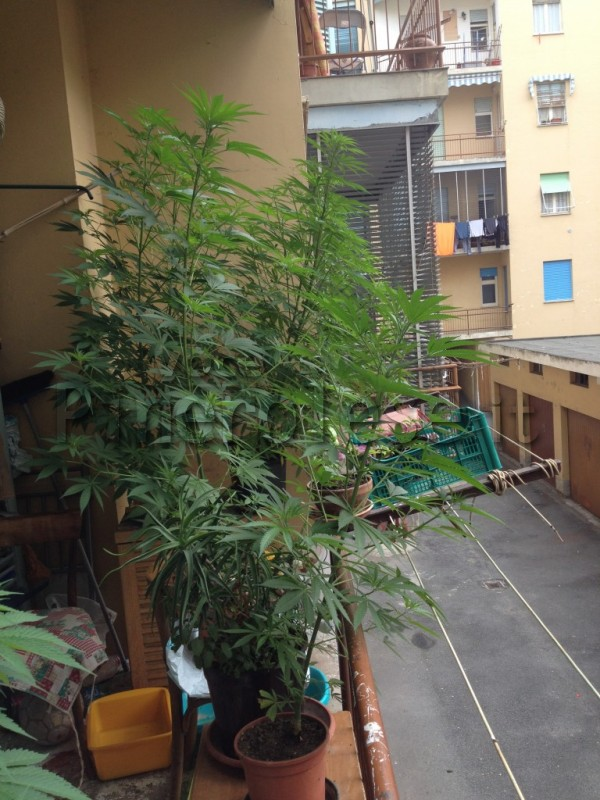 sul_balcone_di_casa_aveva_12_piante_di_cannabis._arrestato._pinerolo-7368